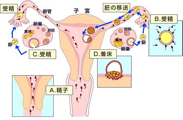 銀座レディースクリニック 妊娠のメカニズム